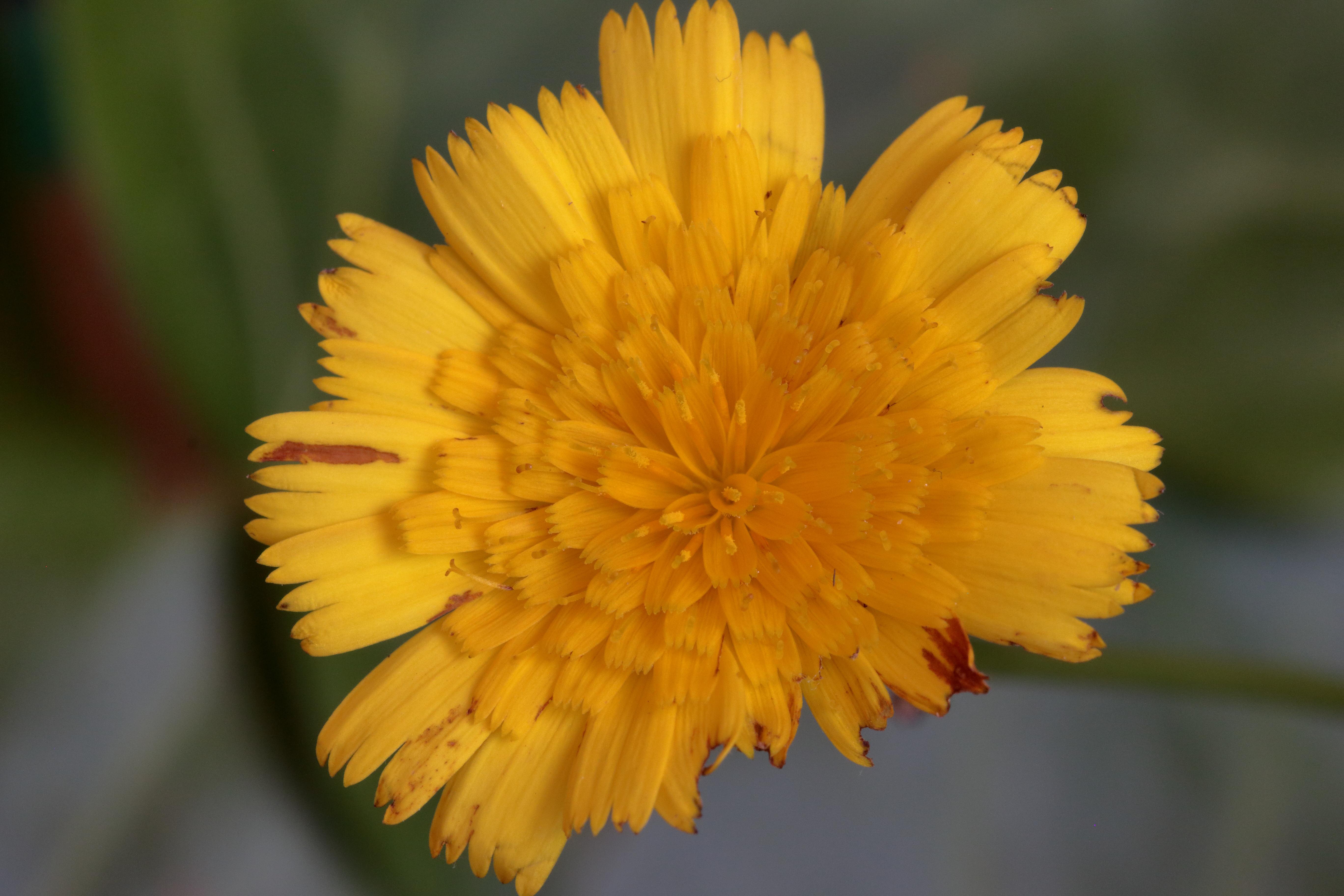 img_8128-tolpis-glabrescens-flor-1.jpg