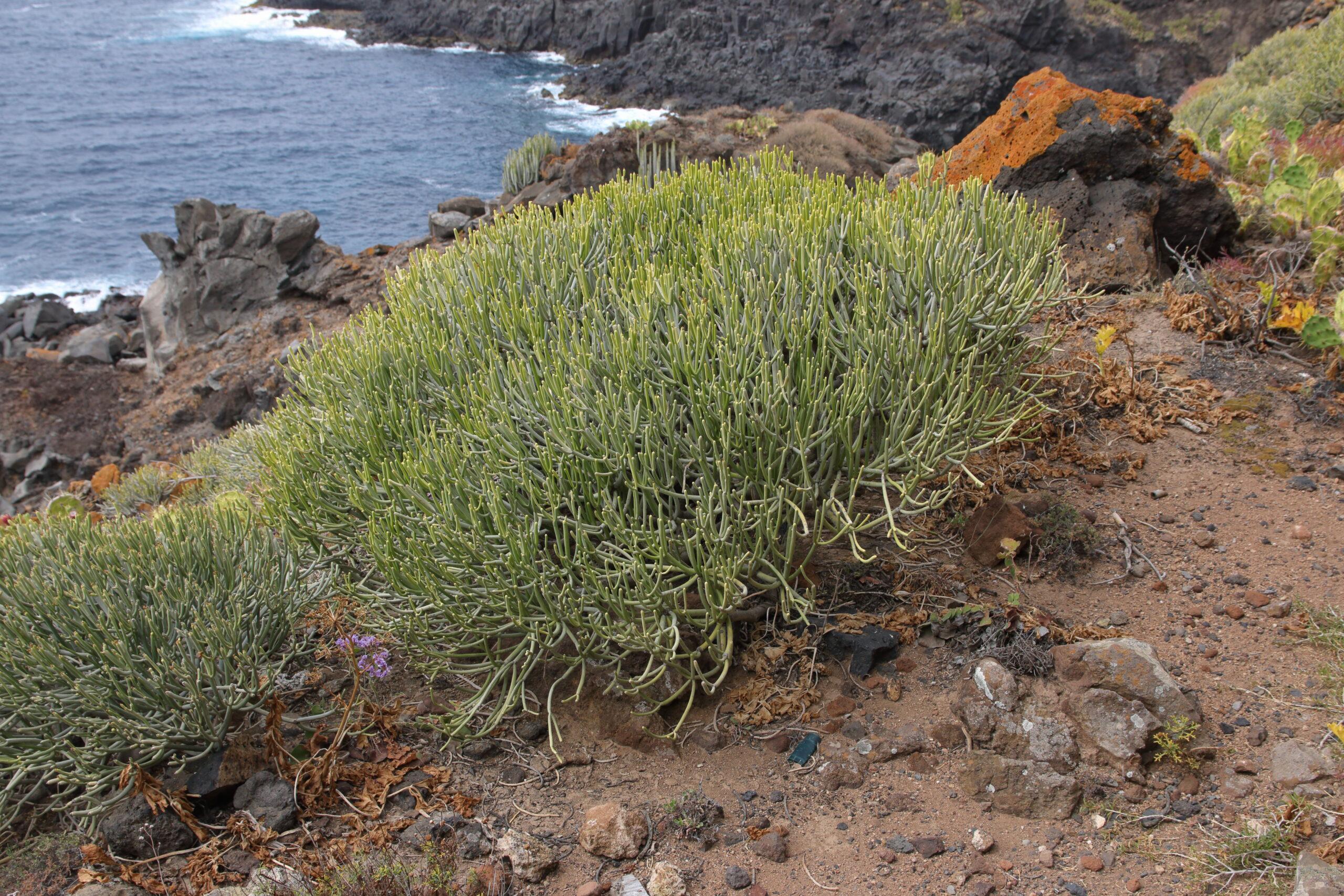 img_8540-tallos-tolda-tabaiba-salvaje-euphorbia-aphylla-con-siempreviva-imbircada-scaled.jpg