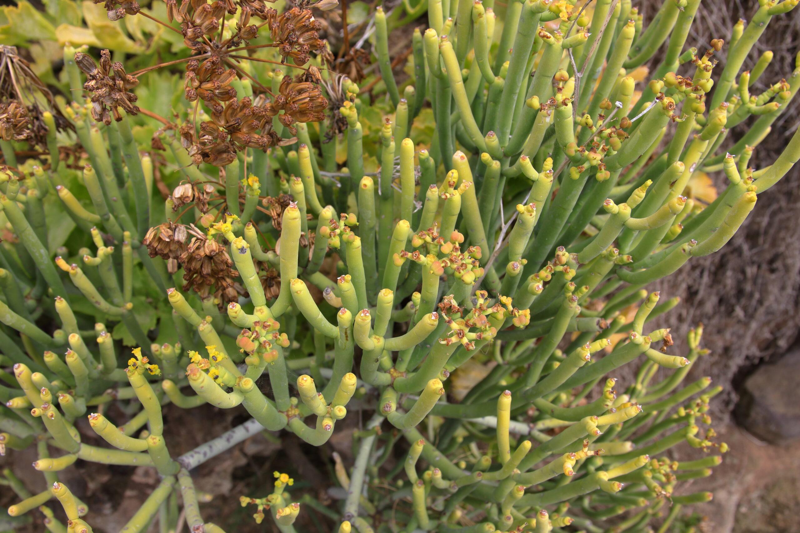 img_8563-tolda-euphorbia-aphyllafrutos-scaled.jpg