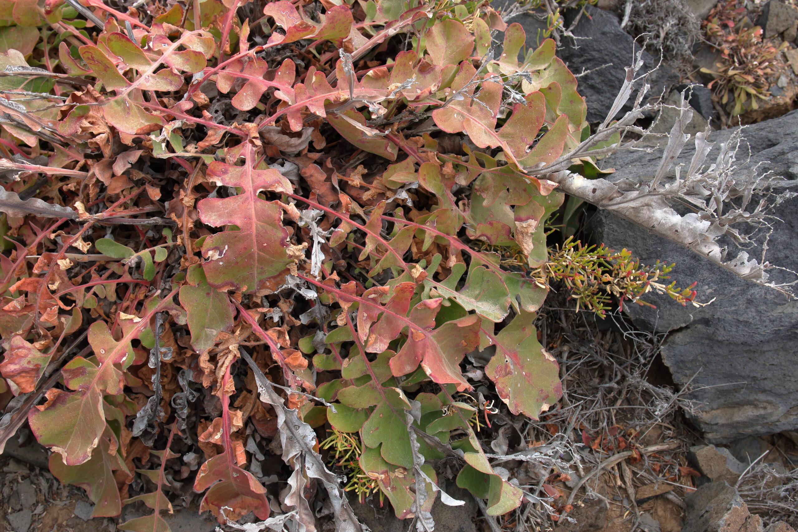img_8594-hojas-siempreviva-imbricada-limonium-imbricatum-hojas-1-scaled.jpg