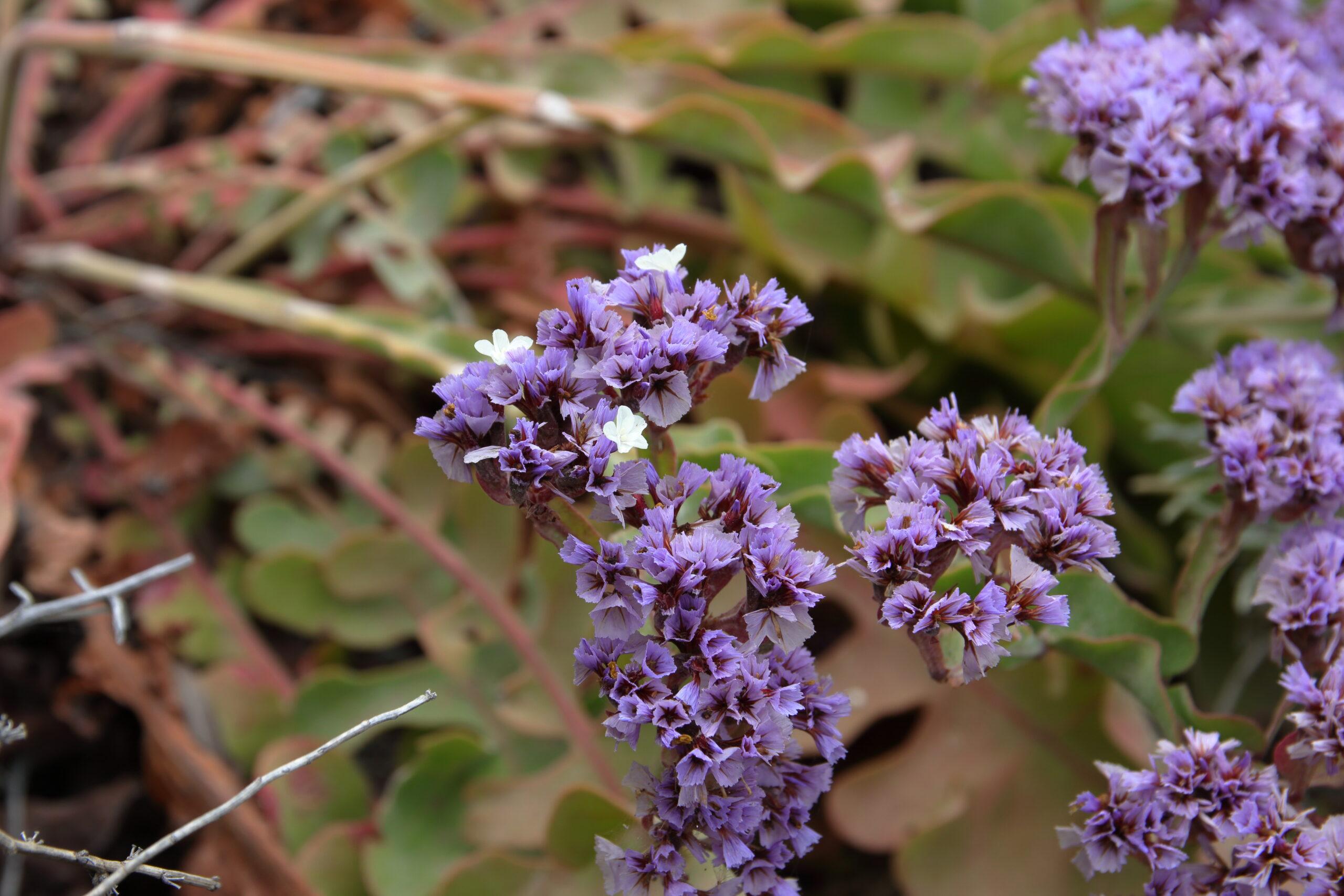 img_8615-flores-siempreviva-imbricada-limonium-imbricatum-detalle-flor-scaled.jpg