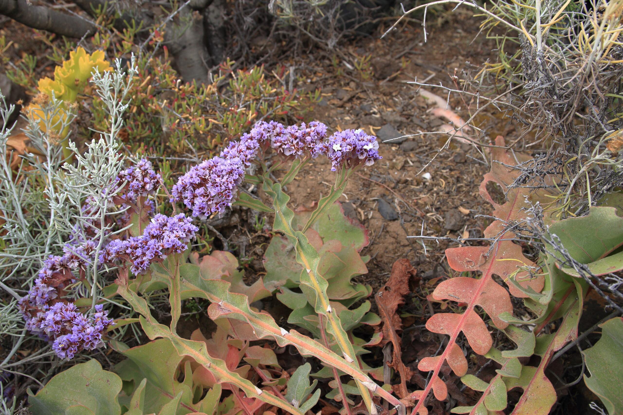 img_8620-flores-siempreviva-imbricada-limonium-imbricatum-detalle-flor-scaled.jpg
