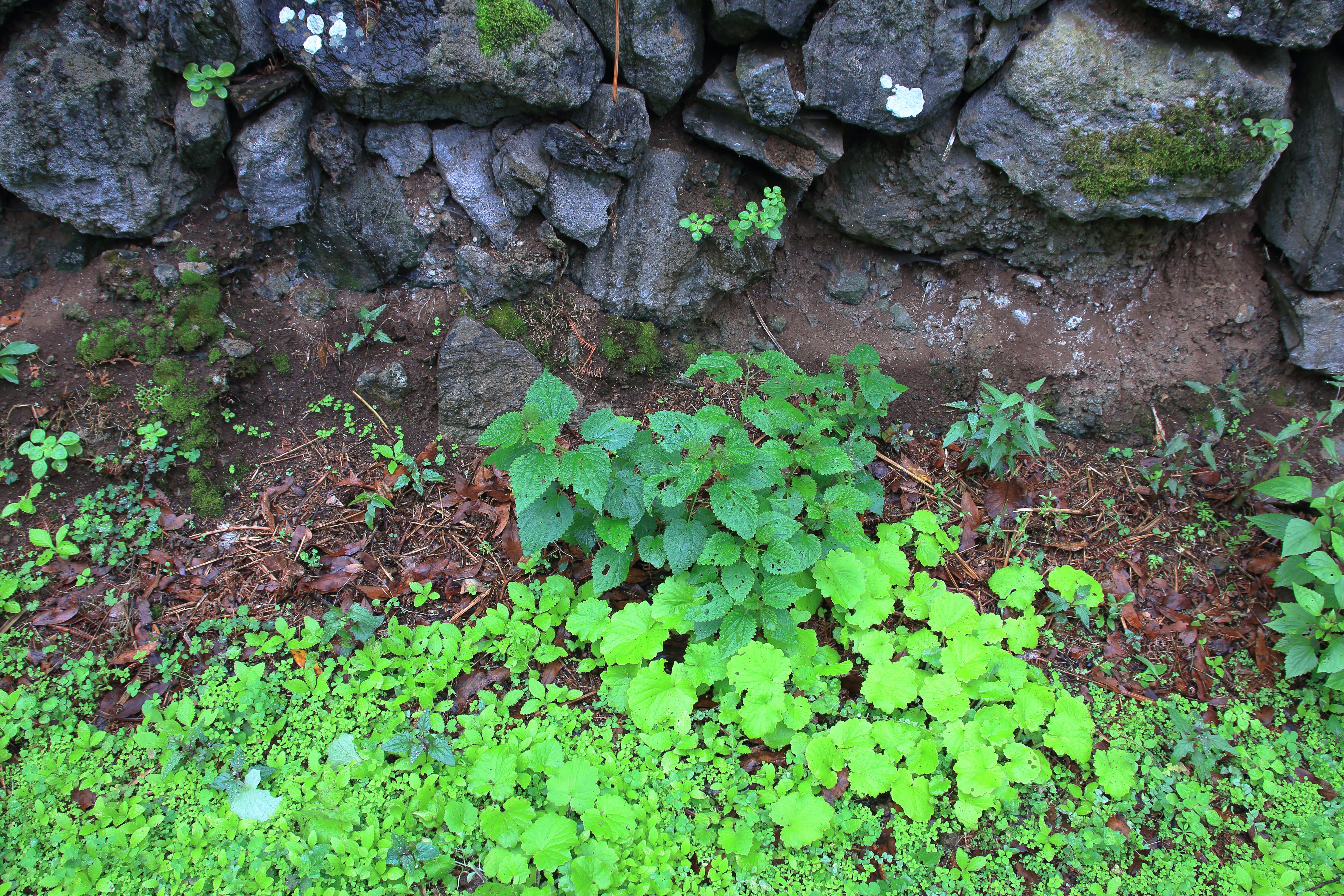 img_9092-habitat-urtica-morifolia-a-10.jpg