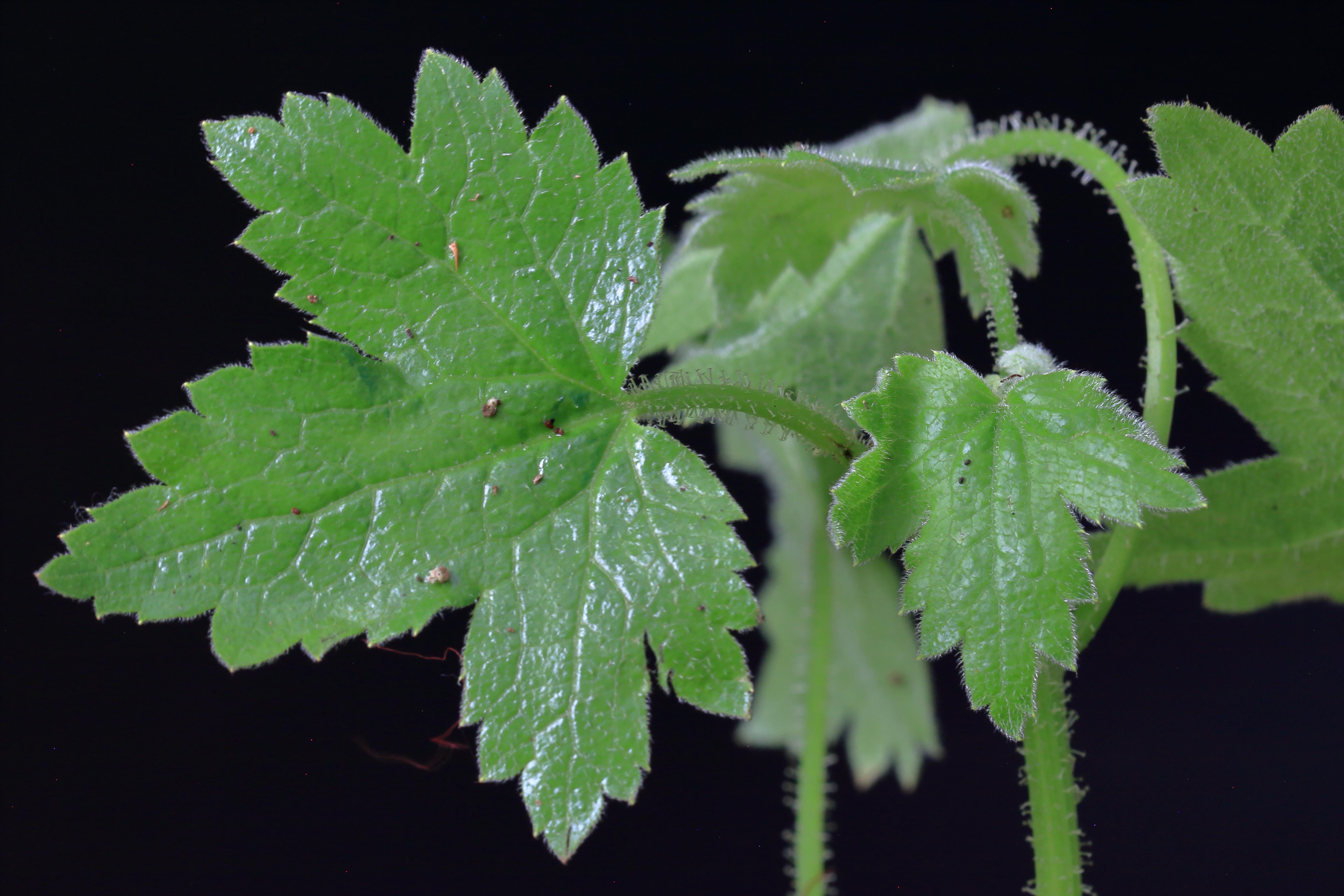 img_9284-drusa-glandulosa.jpg
