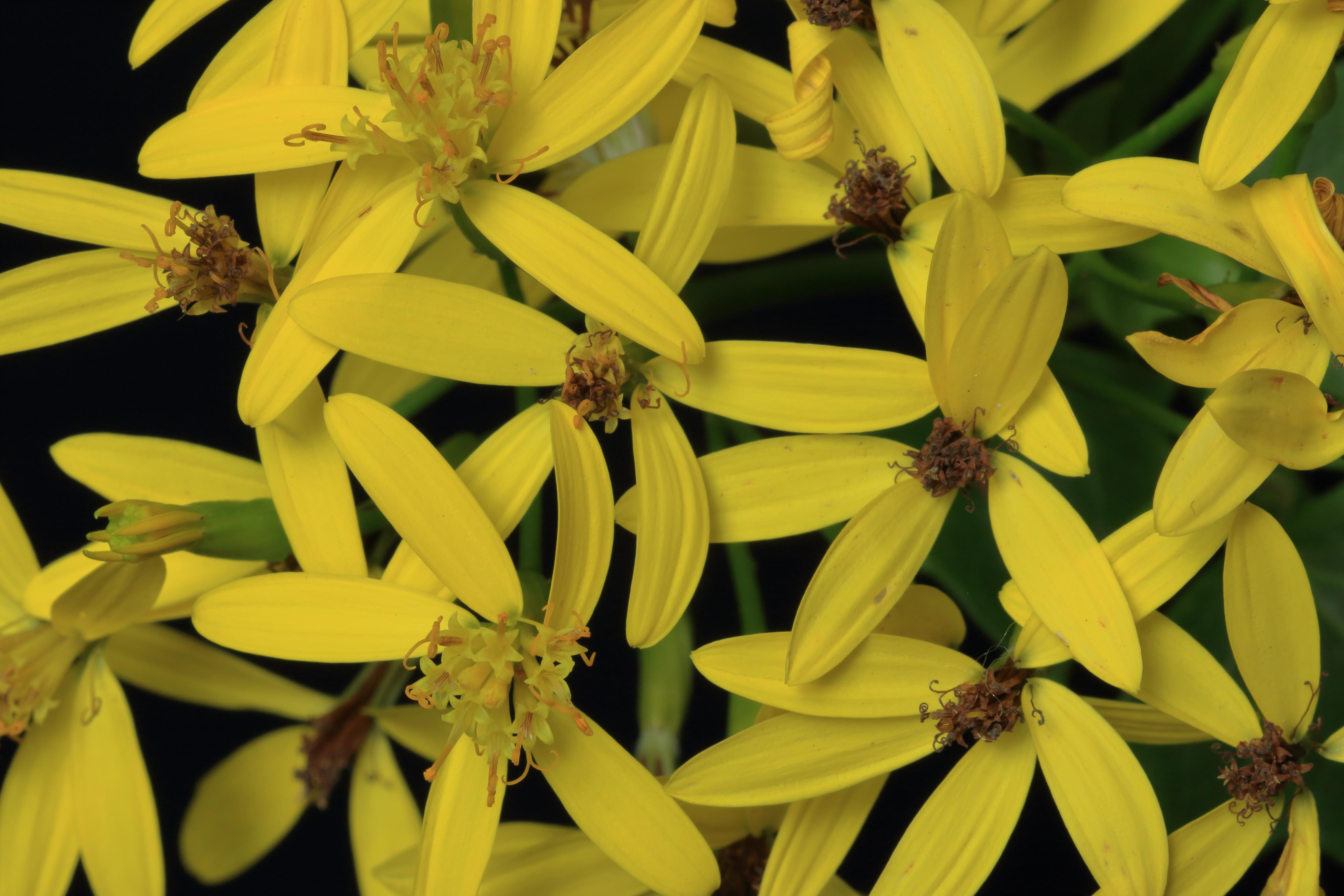 img_9389-delairea-odorata-flores-a-10-mejor.jpg