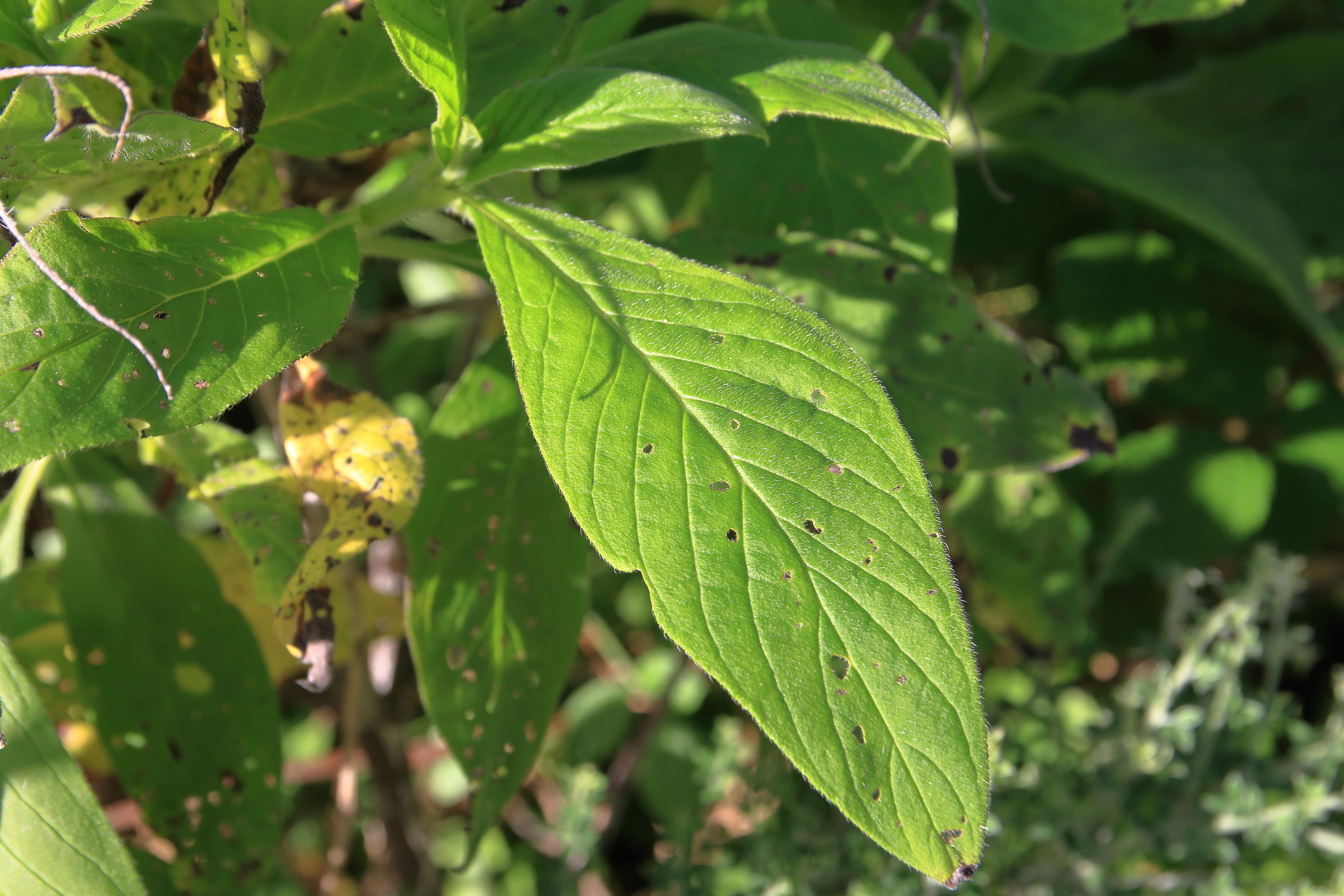 img_9694-echium-strictum-hojas-a-10.jpg