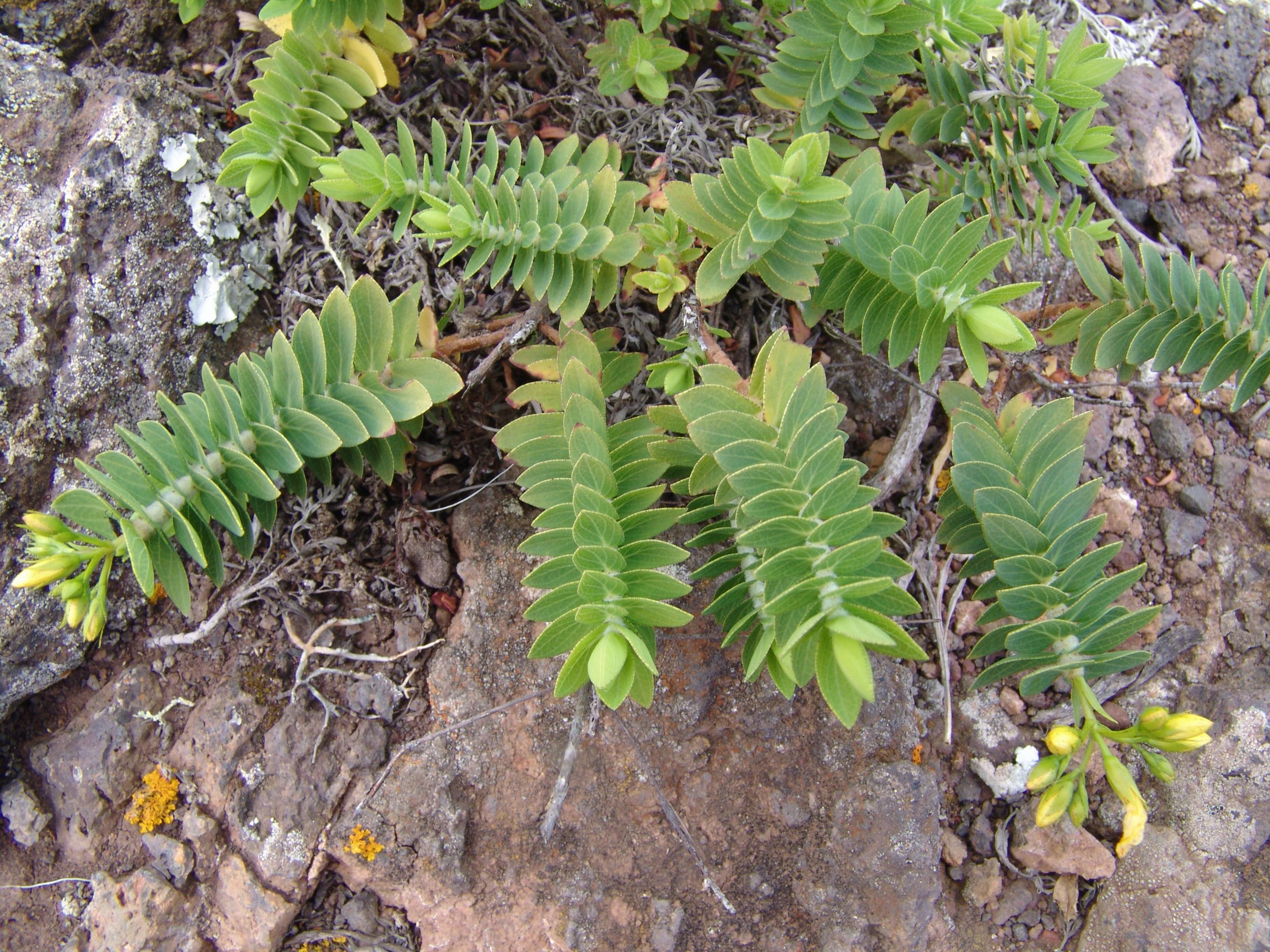 sabinarpuntaanaga1-037-hojas-cruzadilla-a-10.jpg