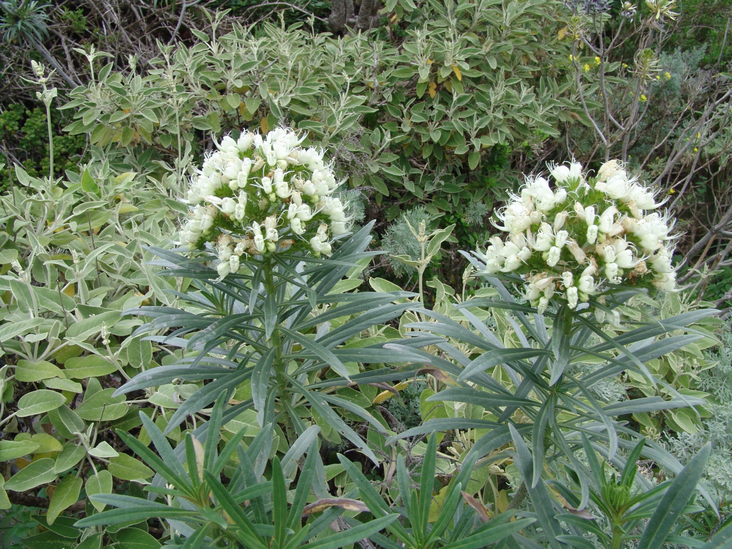 sabinarpuntaanaga1-052-flor-echium-leucophaeum-2-scaled.jpg