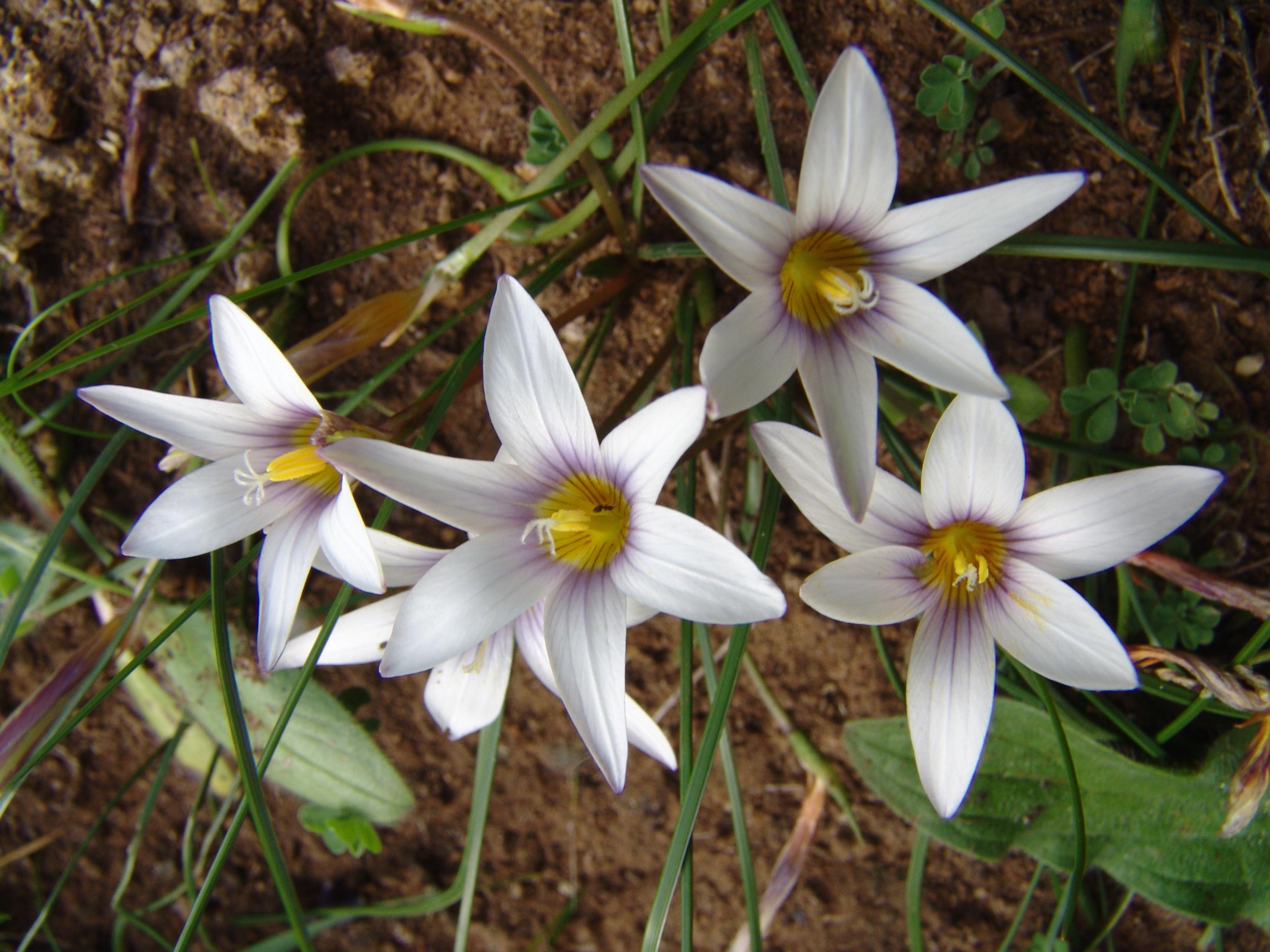 sabinarpuntaanaga2-083-romulea-columnae-flores.jpg