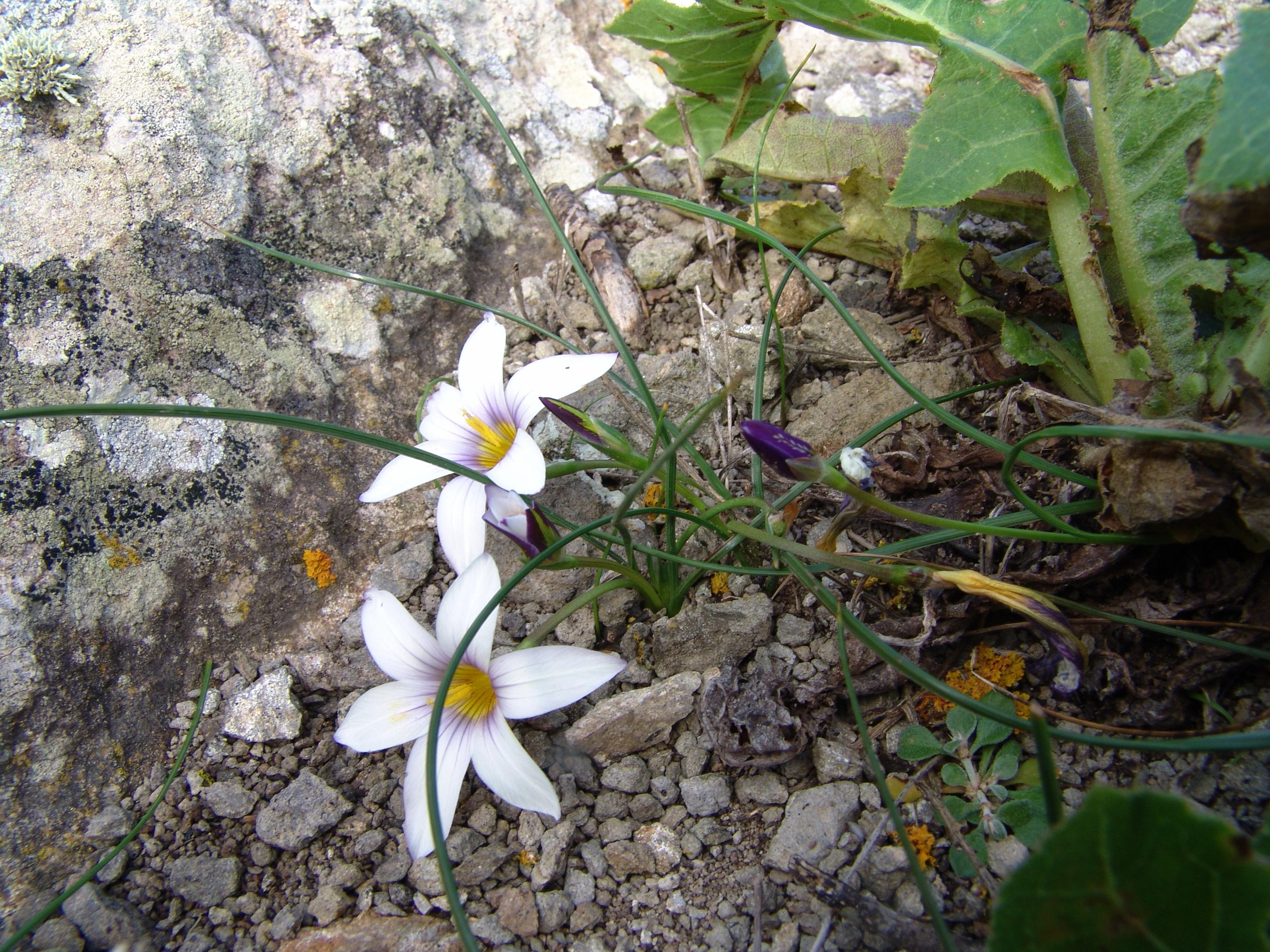 sabinarpuntaanaga2-100-romulea-columnae-a-10-hojas.jpg