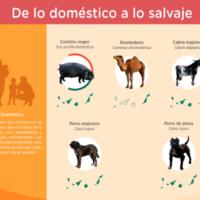 Infografía: De lo doméstico a lo salvaje