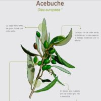 Acebuche