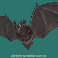 Murciélago del bosque canario