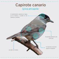 Capirote canario