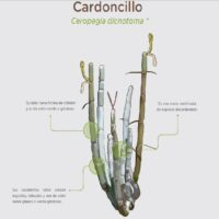 Cardoncillo