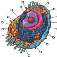 Juego interactivo de la célula animal