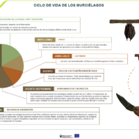 Ciclo de vida de los murciélagos. Lactancia, cría y gestación