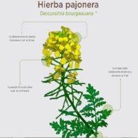 Hierba pajonera