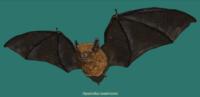 Murciélago de Madeira