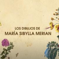 Los dibujos de María Sibylla Merian