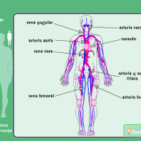 flash sistema circulatorio