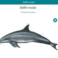 HTML5: Delfín mular