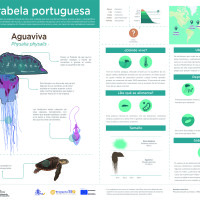 Infografía:  Aguaviva