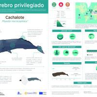 Infografía:   Cachalote