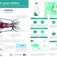Infografía:   Calamar