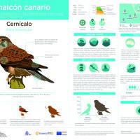 Infografía: Cernícalo