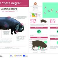 Infografía: Cochino negro