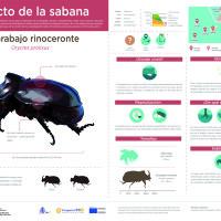 Infografía: Escarabajo rinoceronte