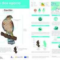 Infografía: Gavilán
