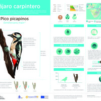 Infografía: Pico picapinos