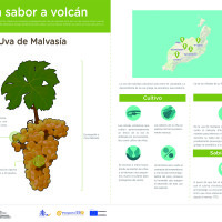 Infografía: Uva Malvasía
