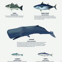 Lámina: fauna marina, peces de superficie