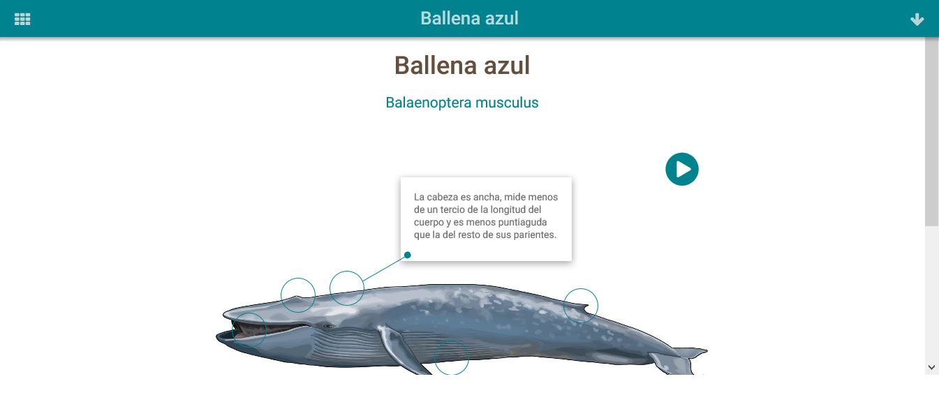 Contemporáneo Anatomía De Una Ballena Azul Ideas - Anatomía de Las ...