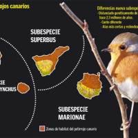 Los petirrojos canarios
