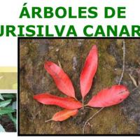 Árboles de laurisilva Canarios