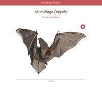 HTML5: Murciélago orejudo