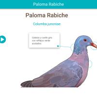 HTML5: Paloma rabiche