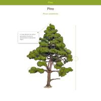 HTML5: Pino canario