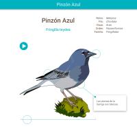 HTML5: Pinzón azul