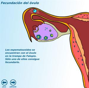 http://www3.gobiernodecanarias.org/medusa/contenidosdigitales/programasflash/Conocimiento/Reproduccion/fecundacion1.swf