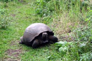 A giant tortoise!