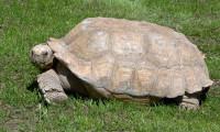 Como las tortugas