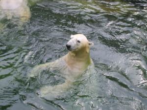 Polar bears international & Edmodo & Cambio climático