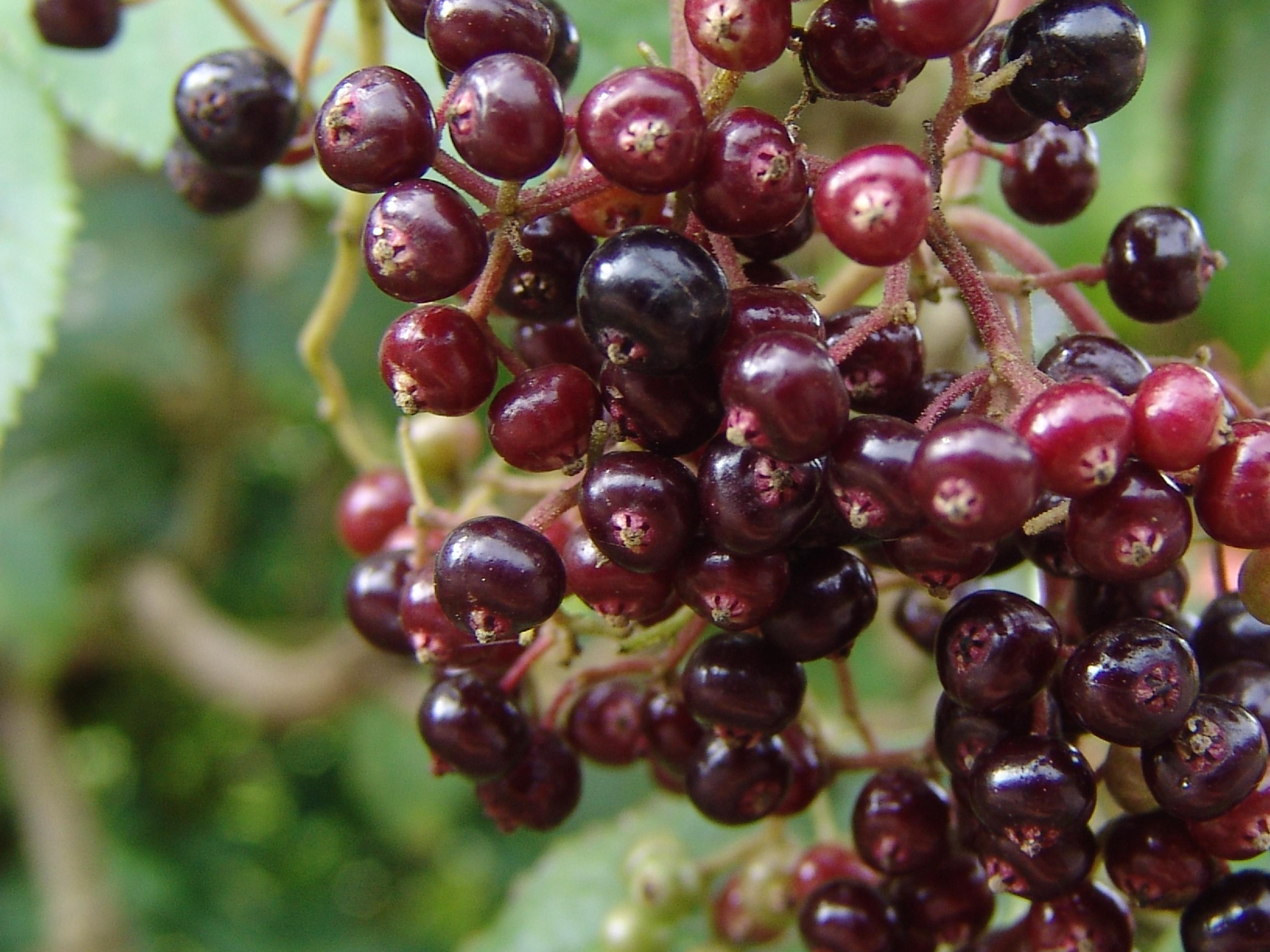 Saúco (Sambucus nigra ssp. palmensis) detalle fruto – Canal del Área de  Tecnología Educativa