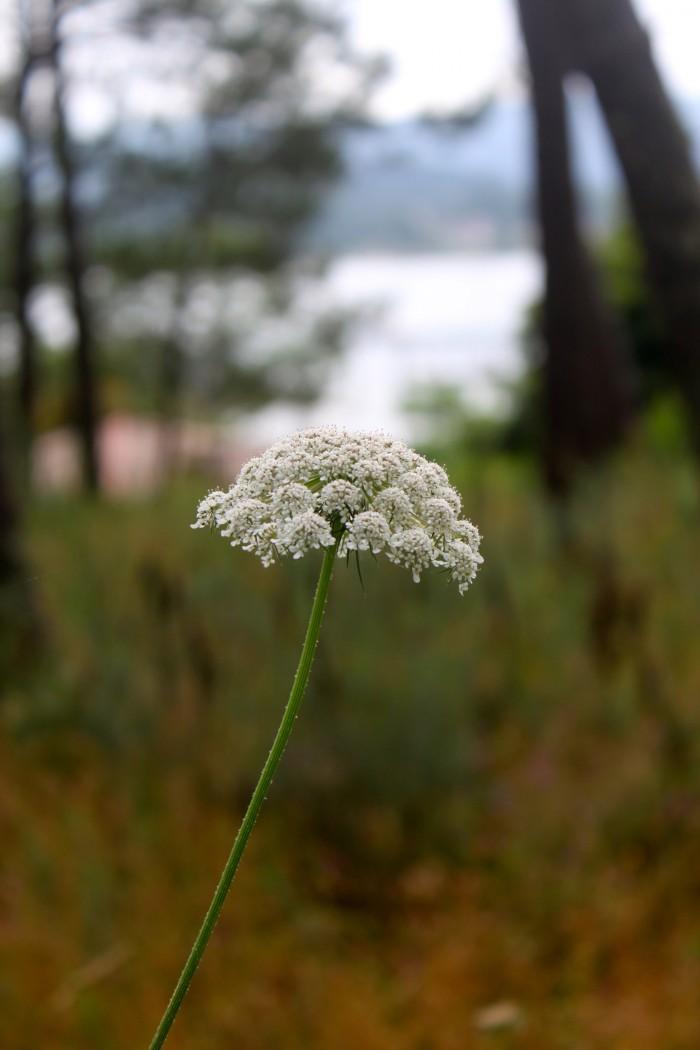 Flor de zanahoria silvestre