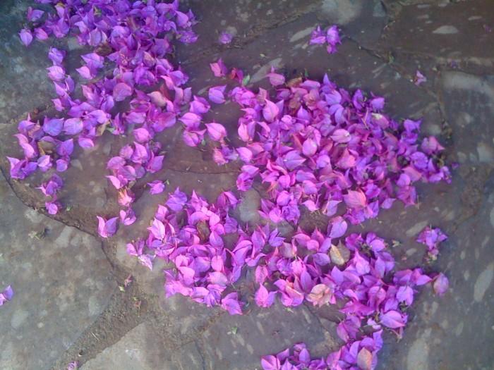 Flores de buganvilla